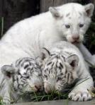 White tiger cubs playing together