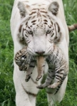 White tiger infant with mother tiger